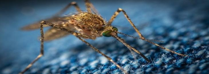 Genetically Modified Mosquitoes Released for the First Time in Florida