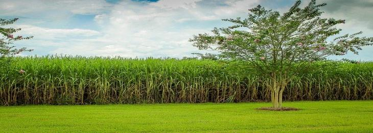 CRISPR-edited Sugarcane Reduces Environmental Impact