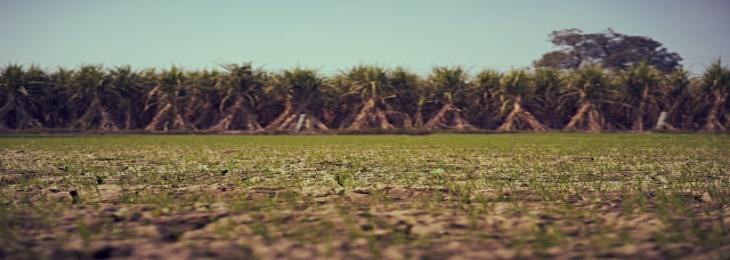 First Sugarcane Edited With CRISPR Helps Decrease Environmental Impact