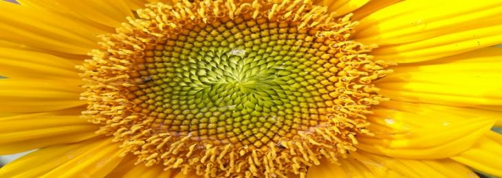 Sunflower Pollen Offers Potential in Development of 3D-bioprinting Ink